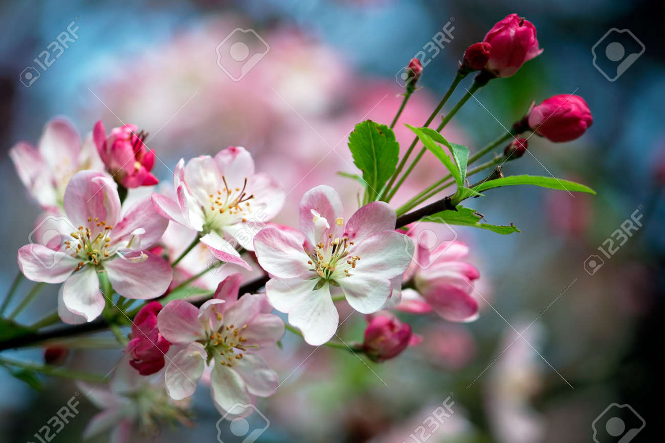 Close-up photo of apple blossoms Stock Photo - 3201867