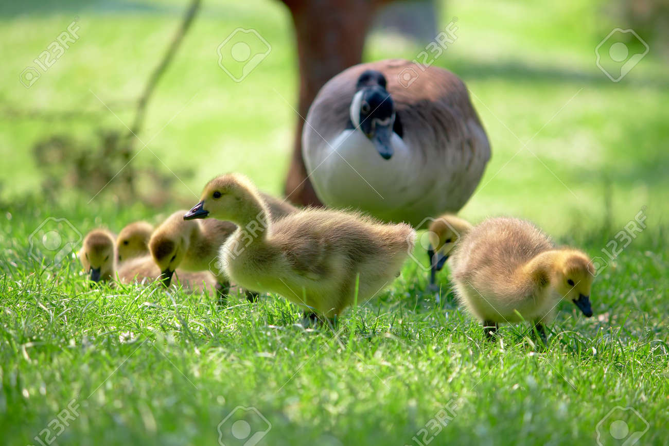 Canada goslings searching for food. Watching over by parent. Stock Photo - 3201863
