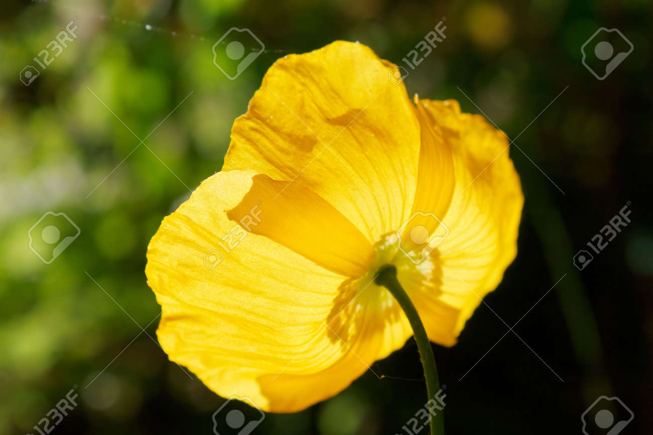The back of a yellow opium poppy (Papaver somniferous). Shallow depth of field. Stock Photo - 7166808