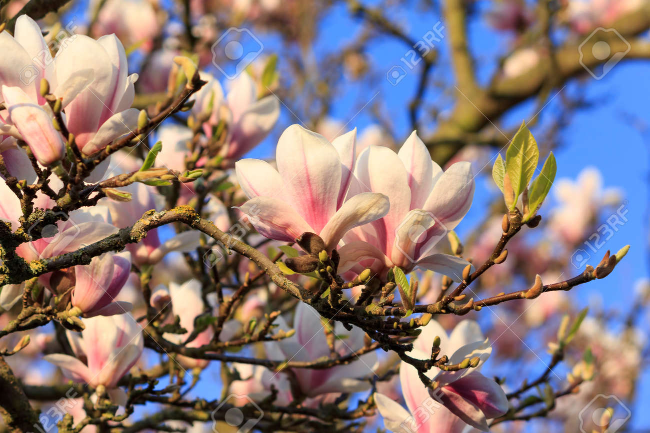 View from underneath a Magnolia tree against a blue sky Stock Photo - 30653186