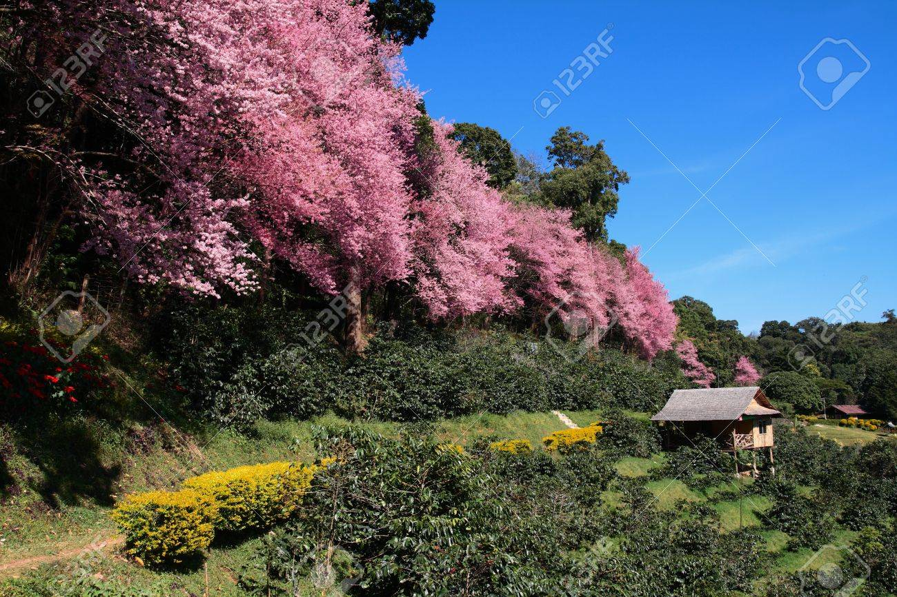 Sakura in Chiang Mai, Thailand Stock Photo - 10181357