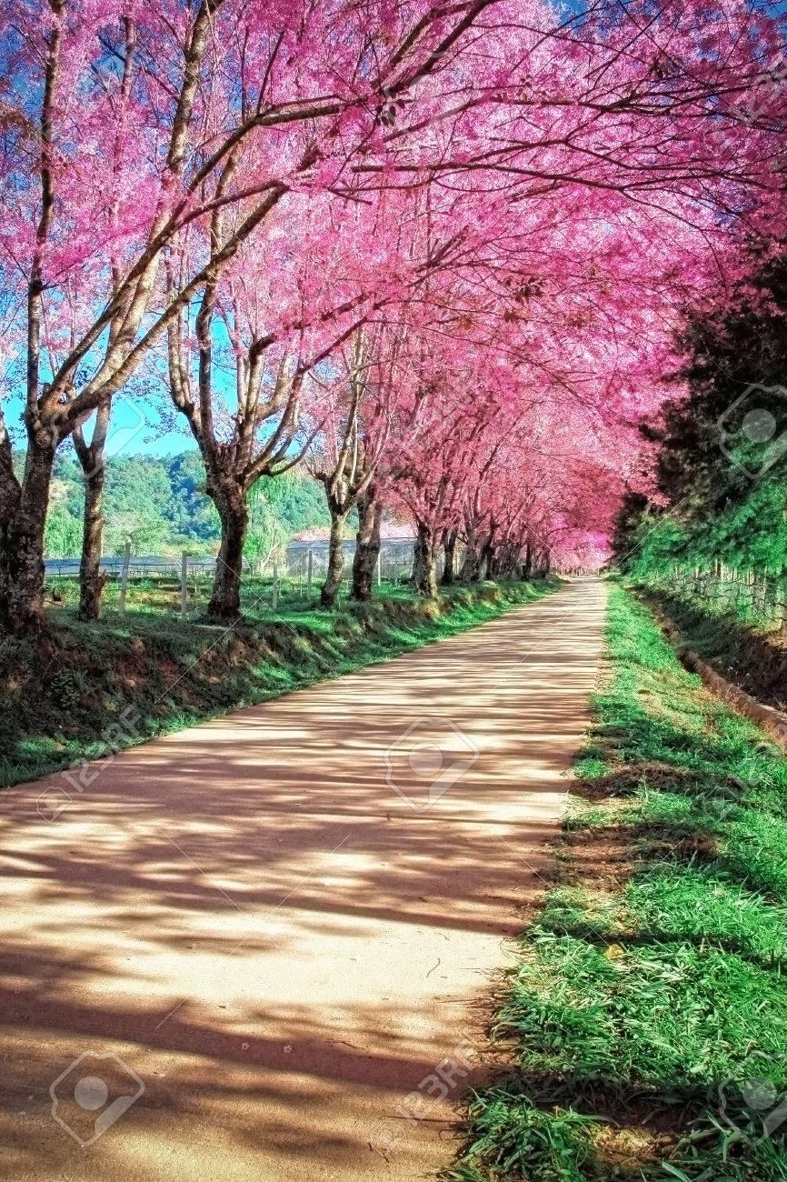 Cherry Blossom Pathway in ChiangMai, Thailand - 25208546