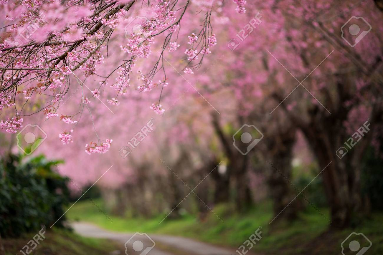 Cherry Blossom Pathway in Chiang Mai, Thailand - 54601085