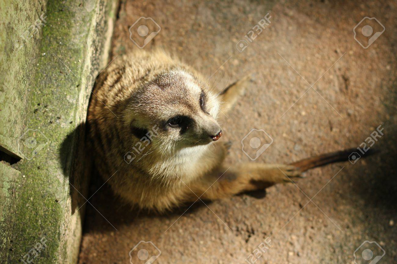 a meerkat was sitting Stock Photo - 17932285