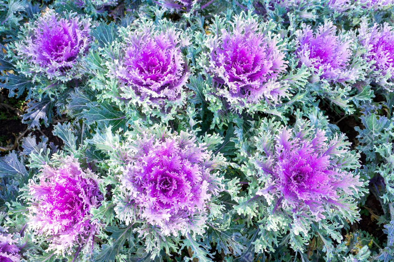 Decorative Cabbage Or Kale Curly Decorative Cabbage Stock Photo
