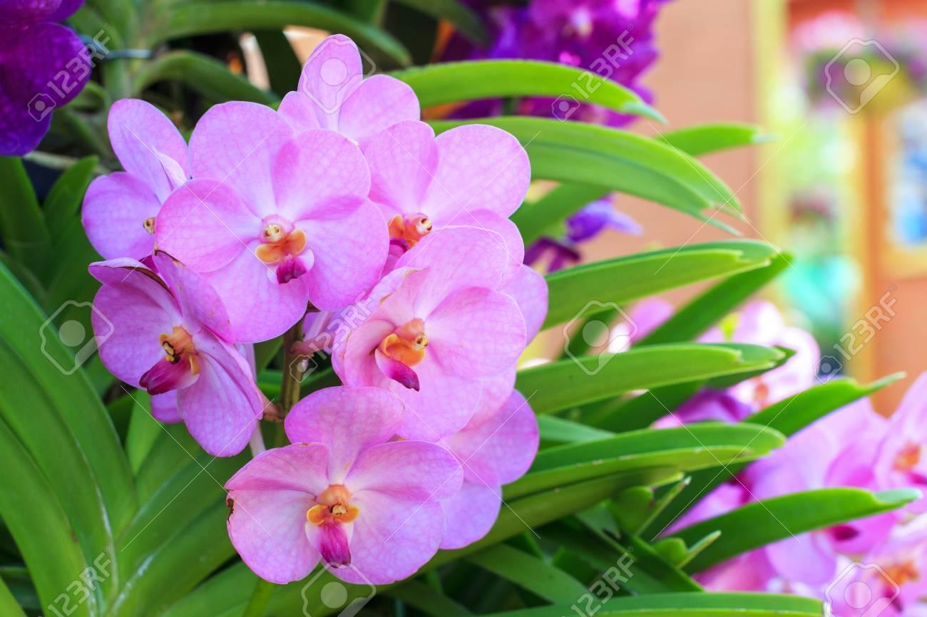 Gros Plan D Orchidee Rose Rouge Phalaenopsis Bouquet De Fleurs D
