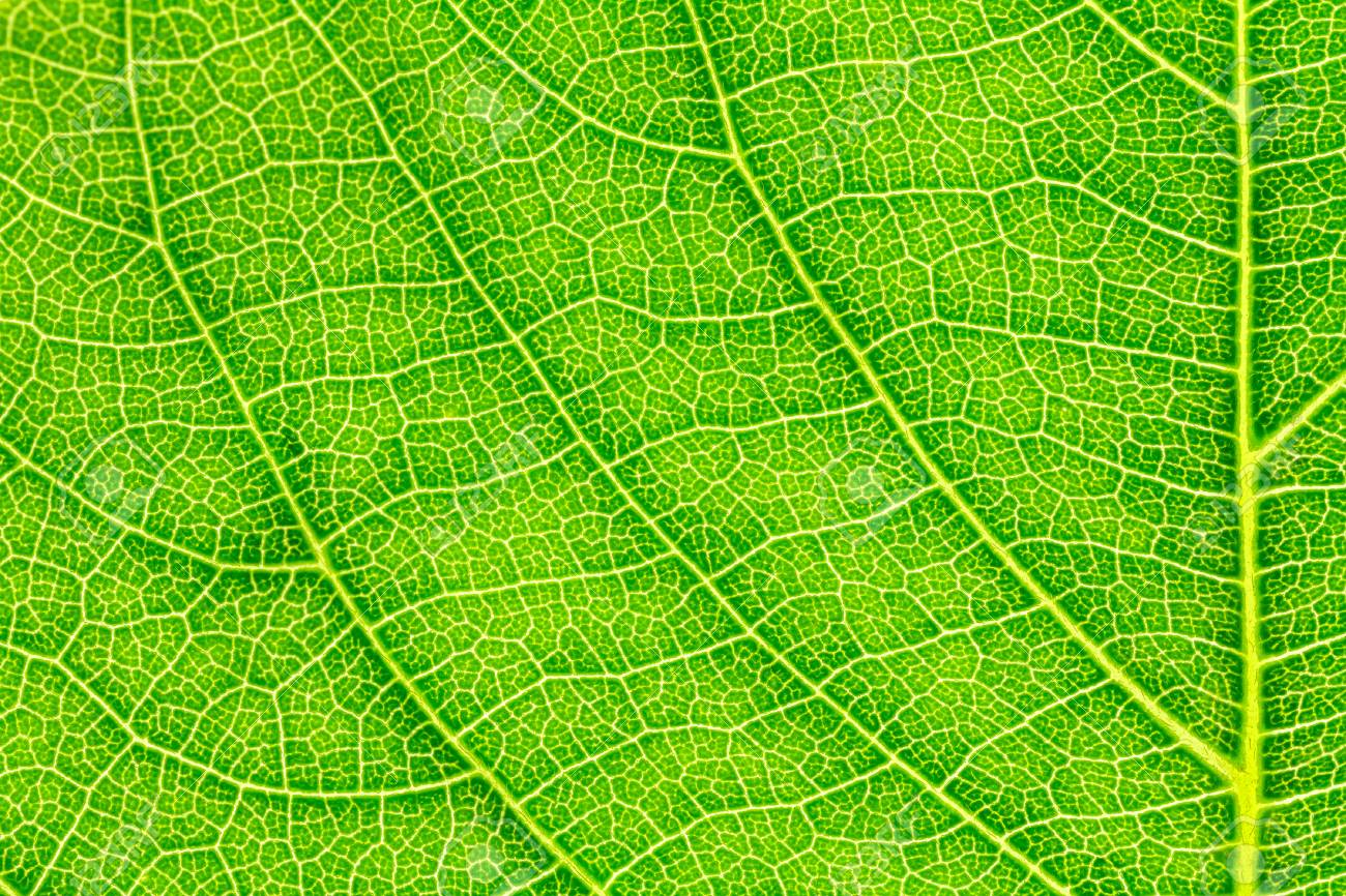 Leaf Texture Pattern For Spring Background Environment And Ecology Stock Photo Picture And Royalty Free Image Image 80941550