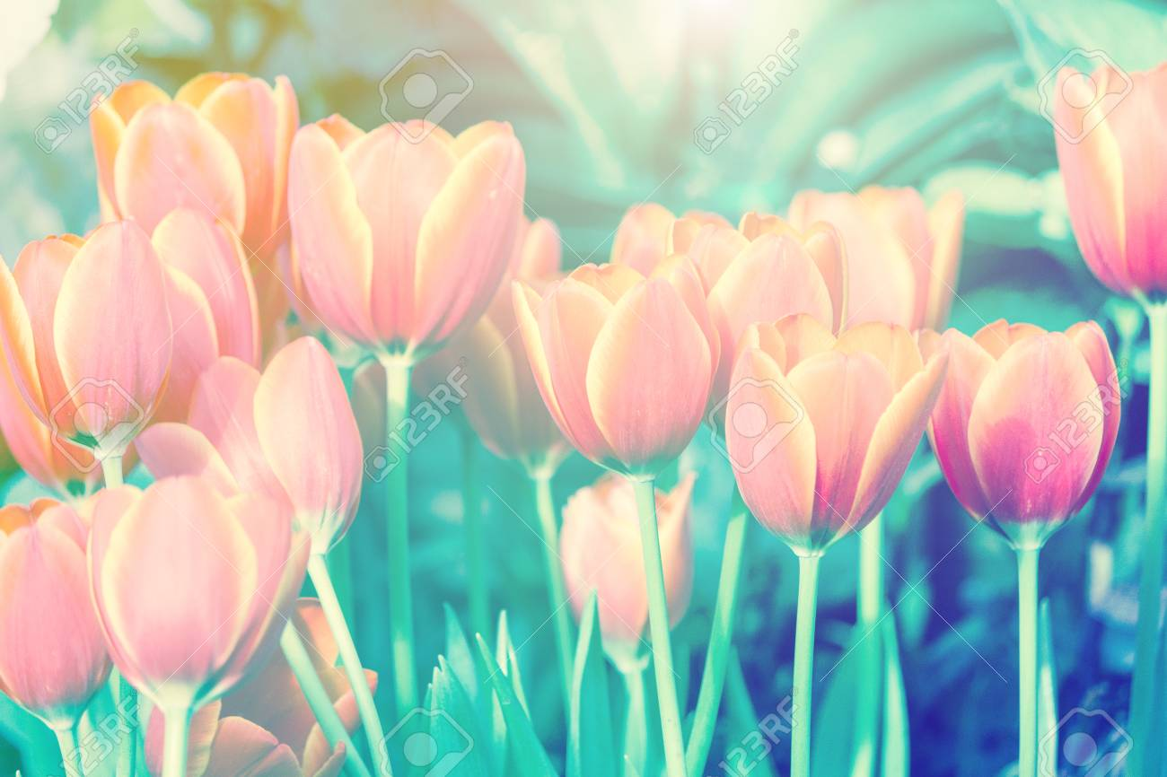 Beautiful tulip flower and green leaf background in the garden beautiful tulip flower and green leaf background in the garden at winter or spring day for izmirmasajfo