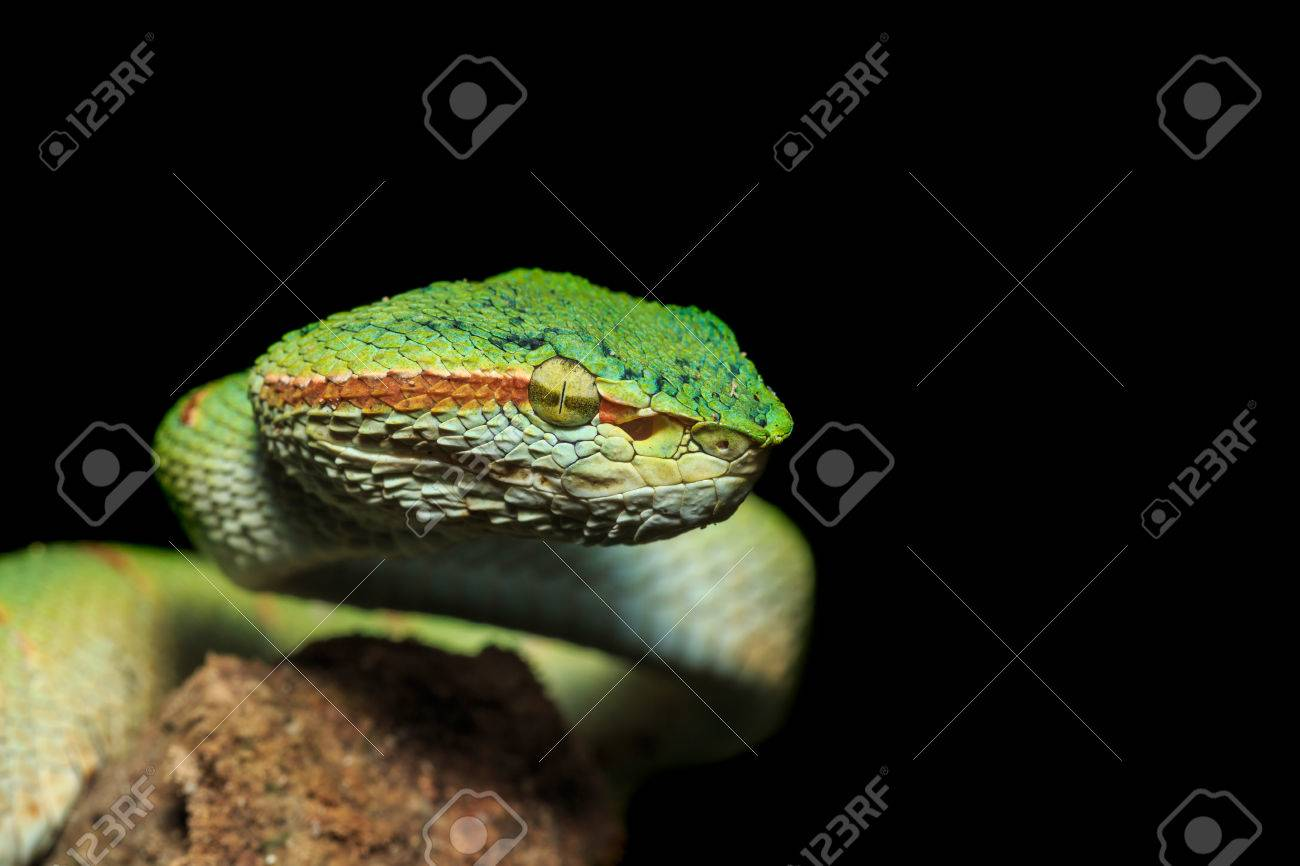 Green snake or Green pit viper in nature of Thailand, Isolated