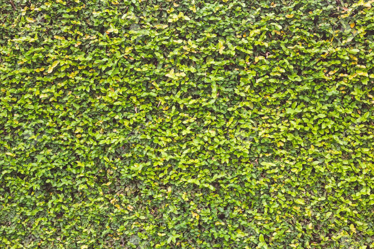 Abstract Pattern Green Wall Of Ivy Or Wall Plant For Background ...
