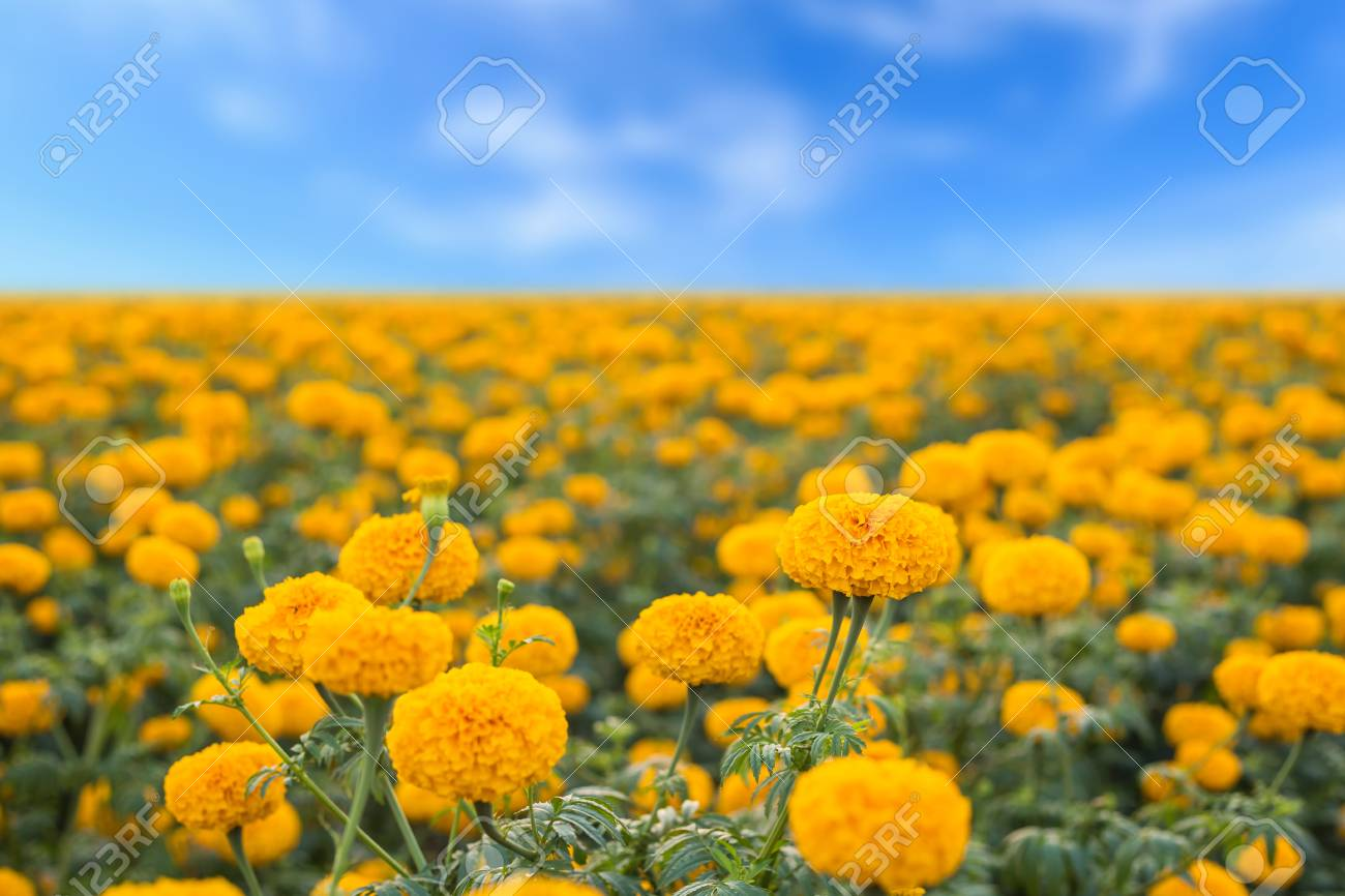 Landscape Of Marigold Flower In Field And Blue Sky At Northern