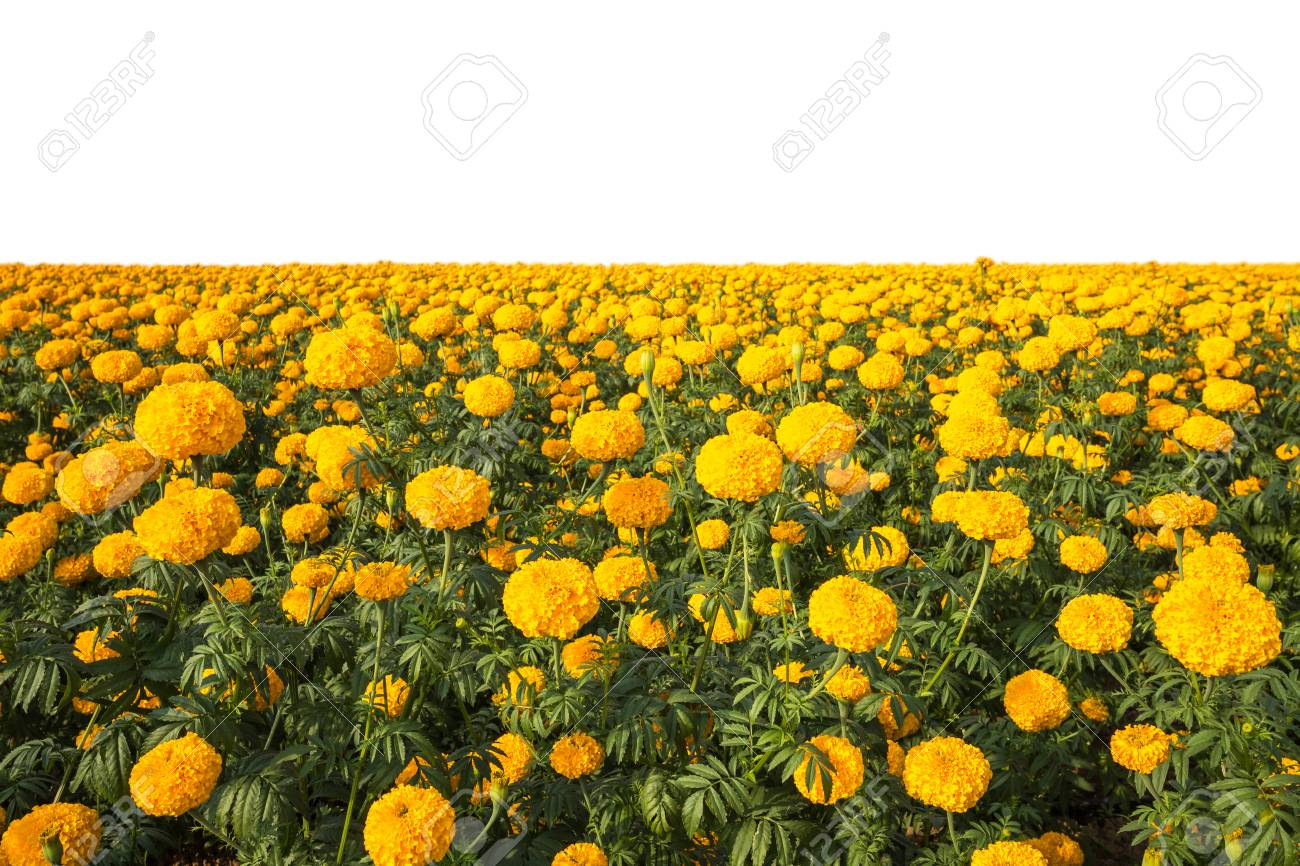 Landscape Of Marigold Flower In Field At Northern Of Thailand