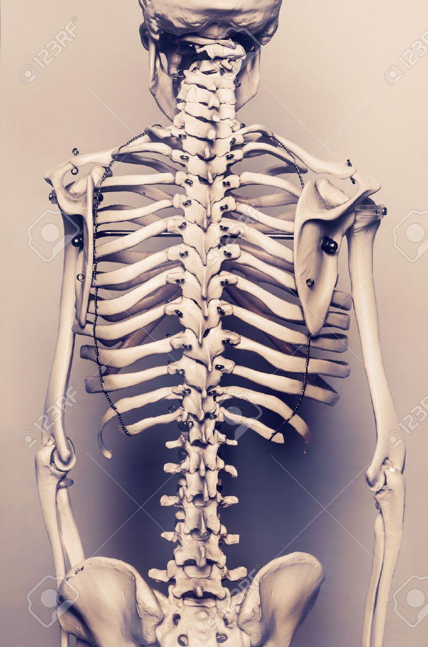 Stylized Background Photo Of Back Of Human Skeleton Model Aged