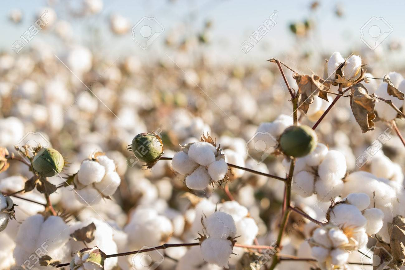 Cotton crop in full bloom - 66669935