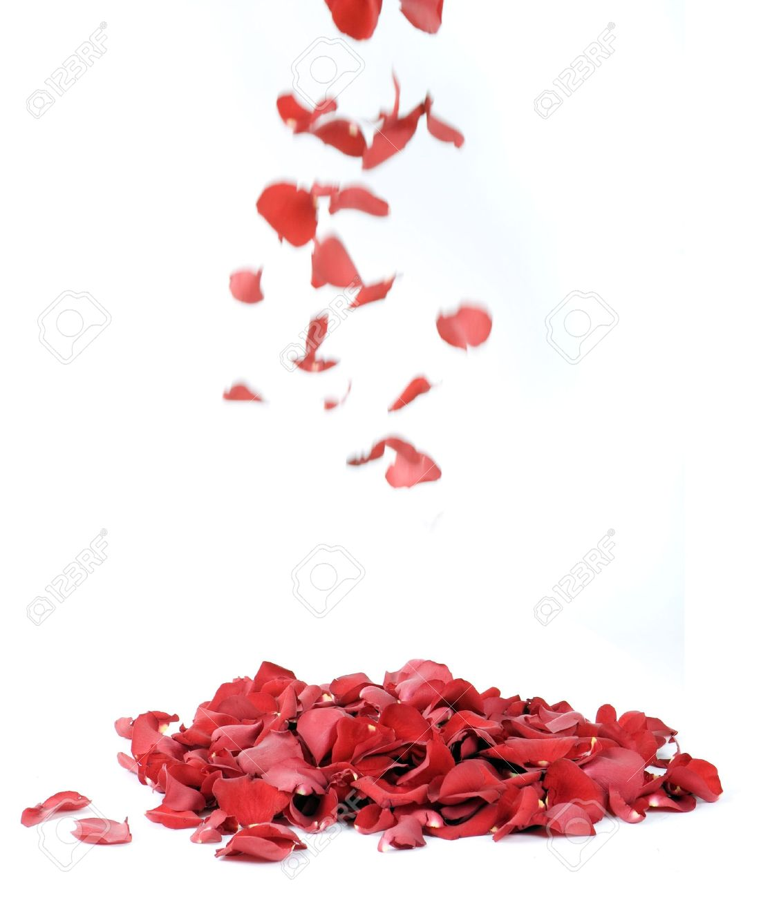 Rose petals on a white background - 4923934