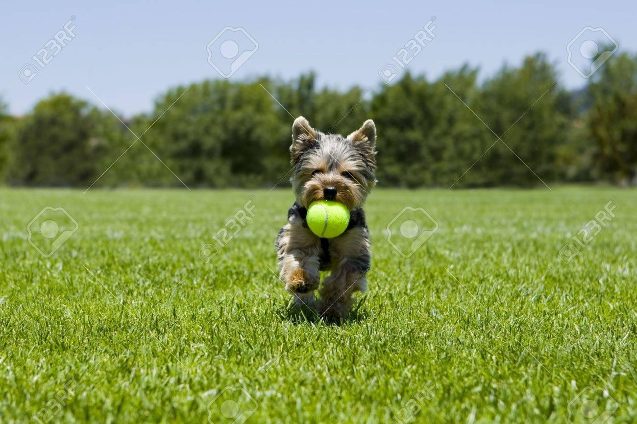 Little puppy running with a ball - 5269702