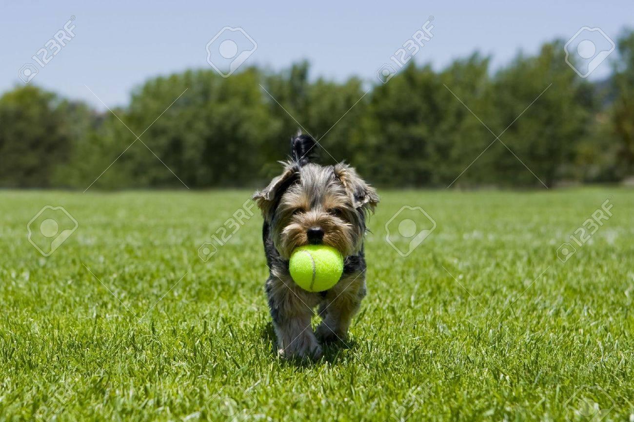 Little puppy running with a ball - 5326389