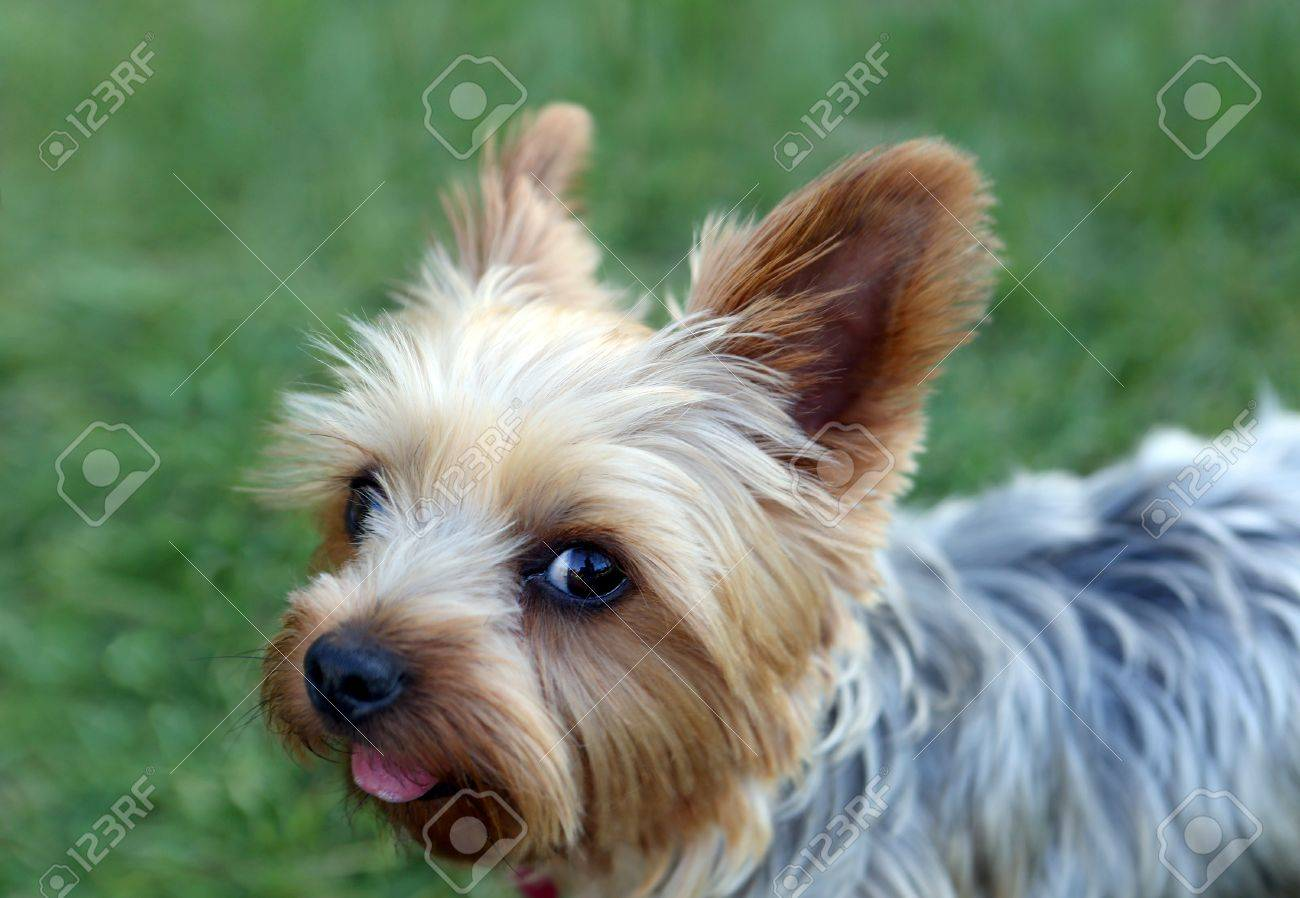Cute Little Yorkie With A Puppy Cut Stock Photo Picture And Royalty