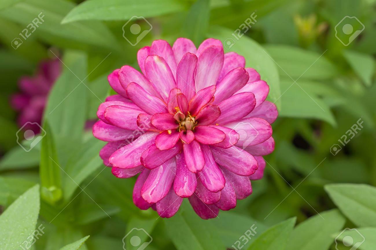 20900014-Flor-zinnia-magenta-fresco-en-el-fondo-verde-de-la-hoja-Foto-de-archivo.jpg