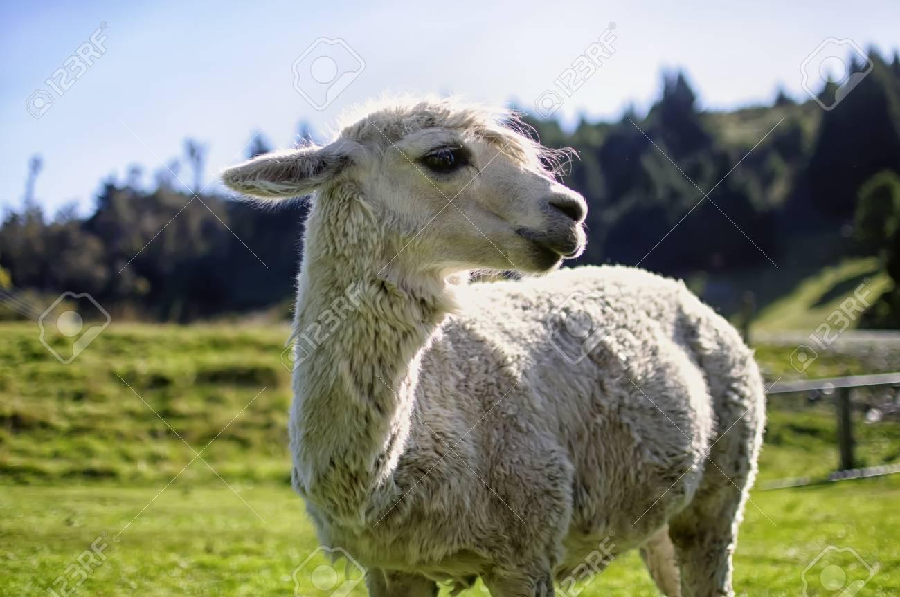 Alpaca Stock Photo - 13710412