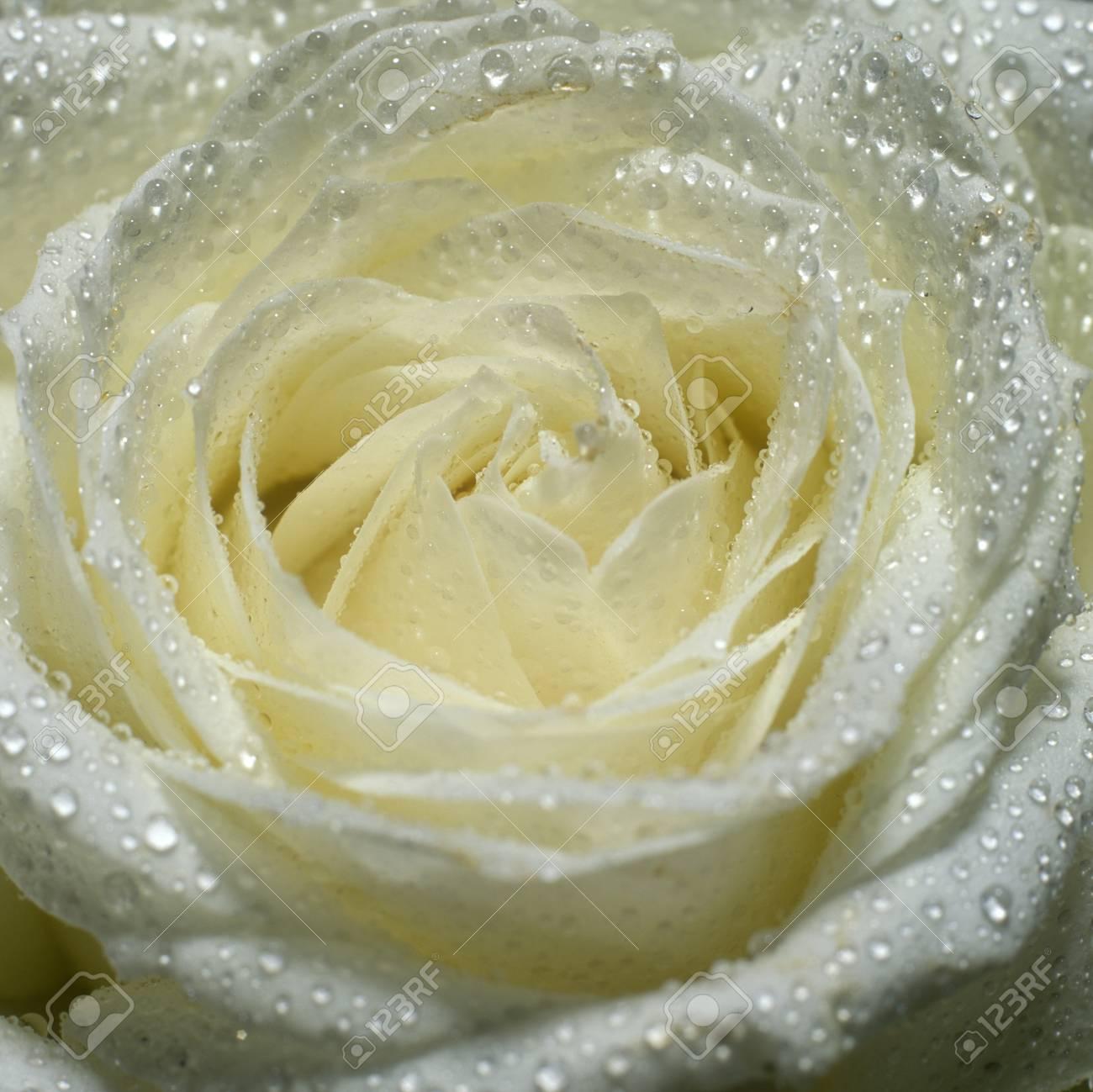 white rose Stock Photo - 7386987