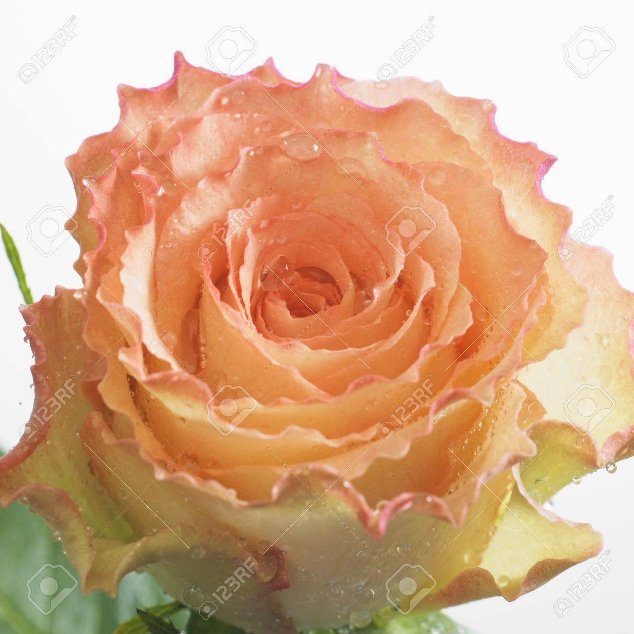 pink rose Stock Photo - 8336102