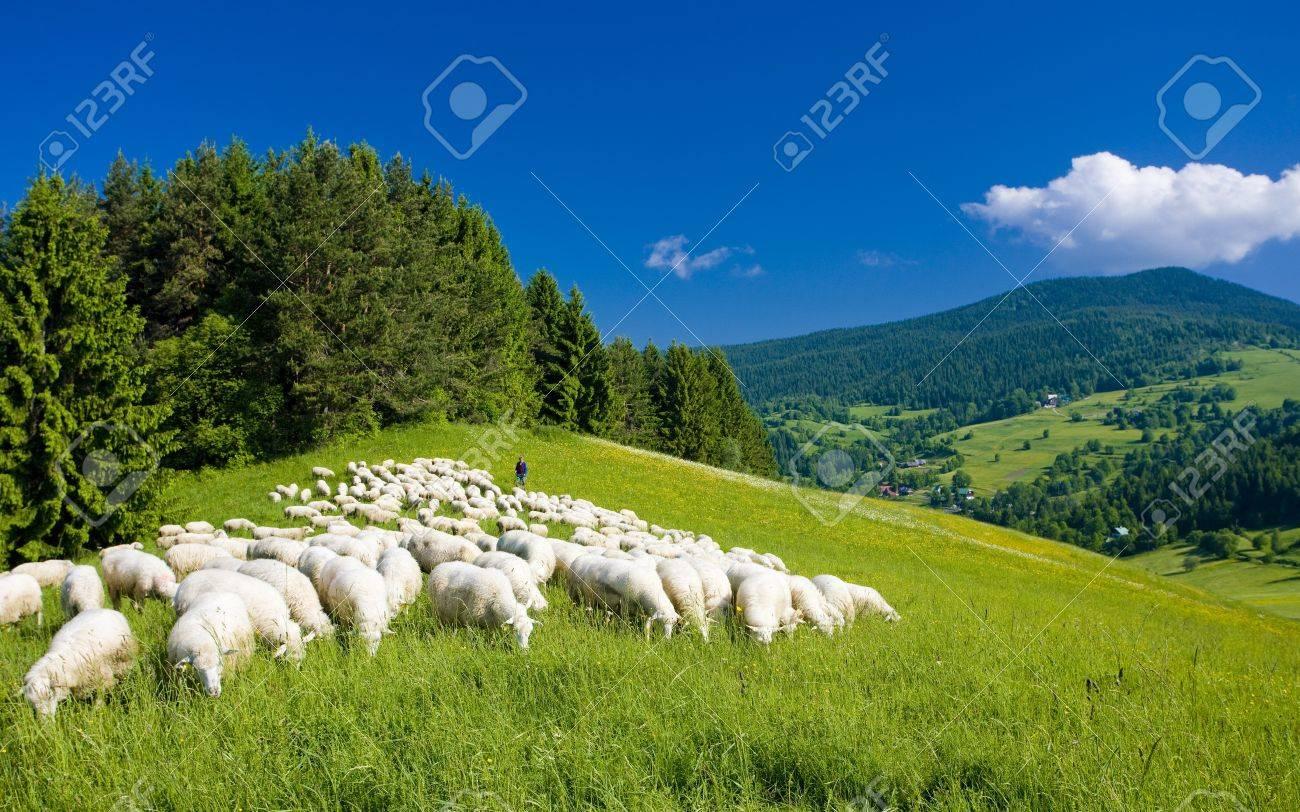 Sheep Herd Mala Fatra Slovakia