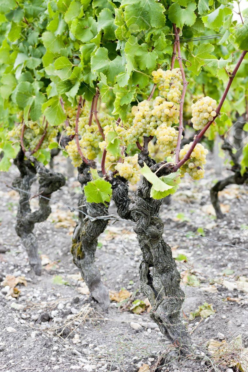 white grape in vineyard, Sauternes Region, Aquitaine, France Stock Photo - 9863138