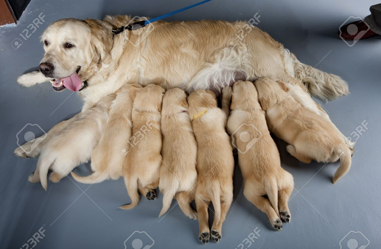 Female Dog Of Golden Retriever With Puppies Stock Photo Picture And