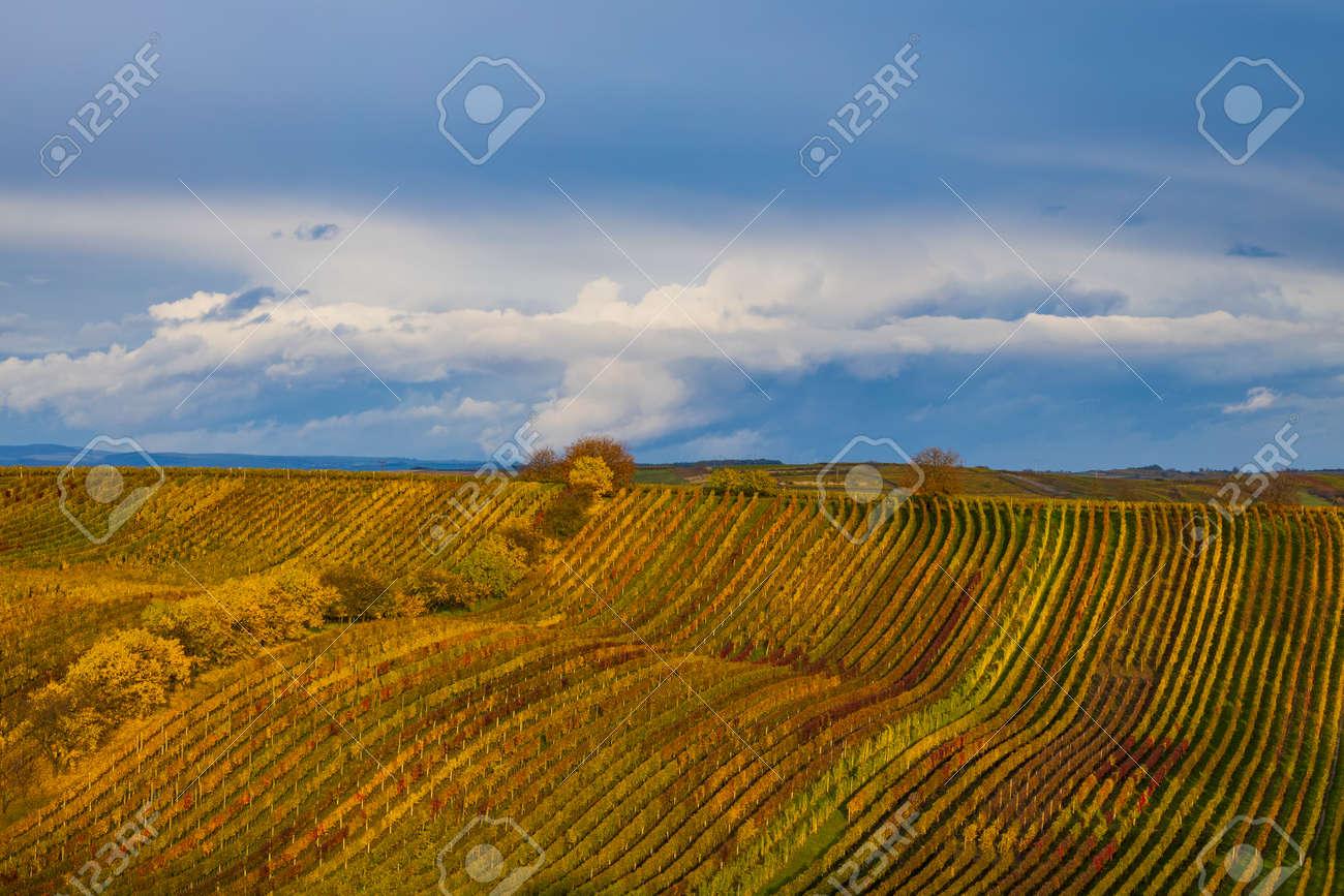 Autumn vineyard near Cejkovice, Southern Moravia, Czech Republic - 169975889