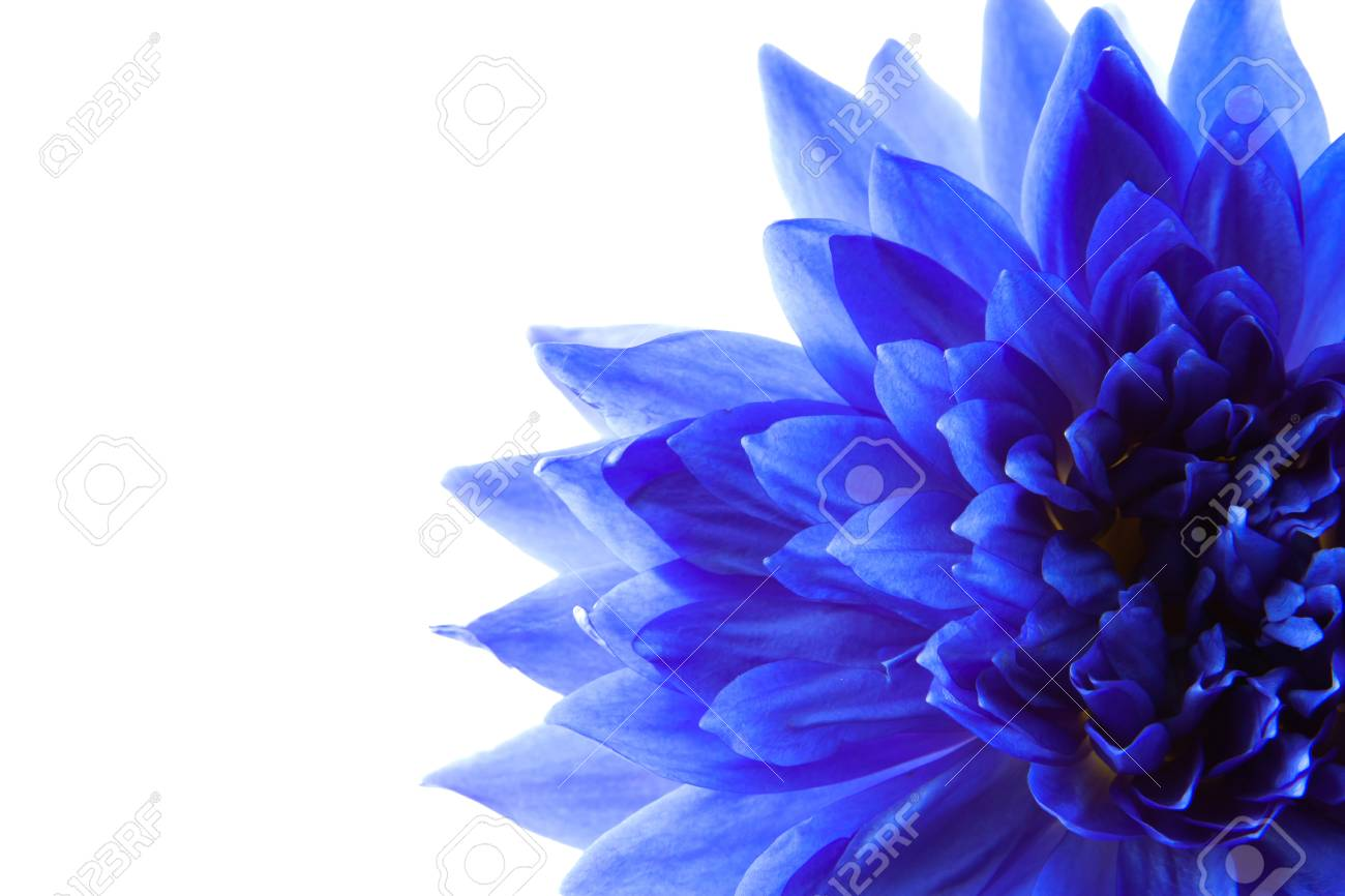 The blue lotus on the white background stock photo picture and stock photo the blue lotus on the white background mightylinksfo