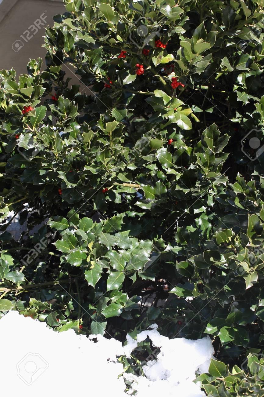 Bush of holly Stock Photo - 16902627