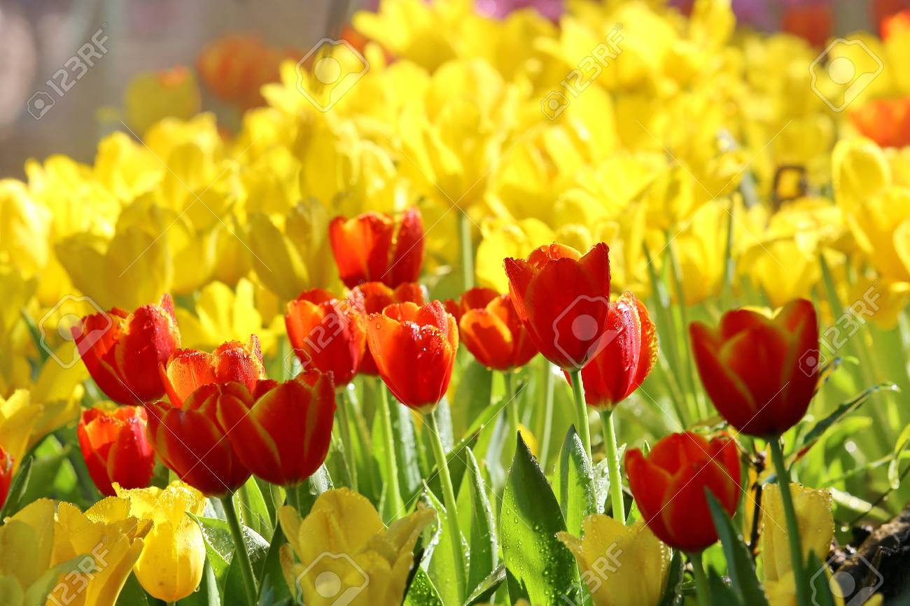 Beautiful Tulip Flowers Background Stock Photo Picture And Royalty