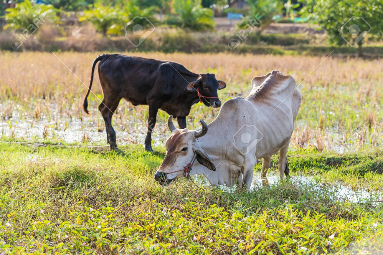The skiny cow feed on grass in the rice field