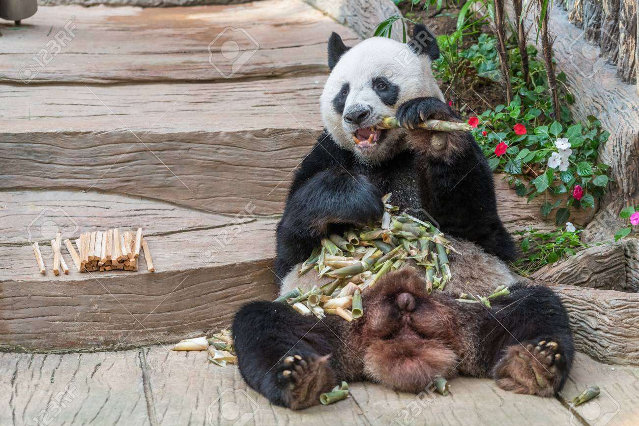 A Male Giant Panda Bear Enjoy His Breakfast Of Well Selected Stock Photo Picture And Royalty Free Image Image 98853986