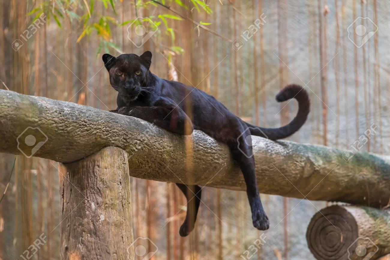 black-jaguars-pictures-black-gf-nude-gif
