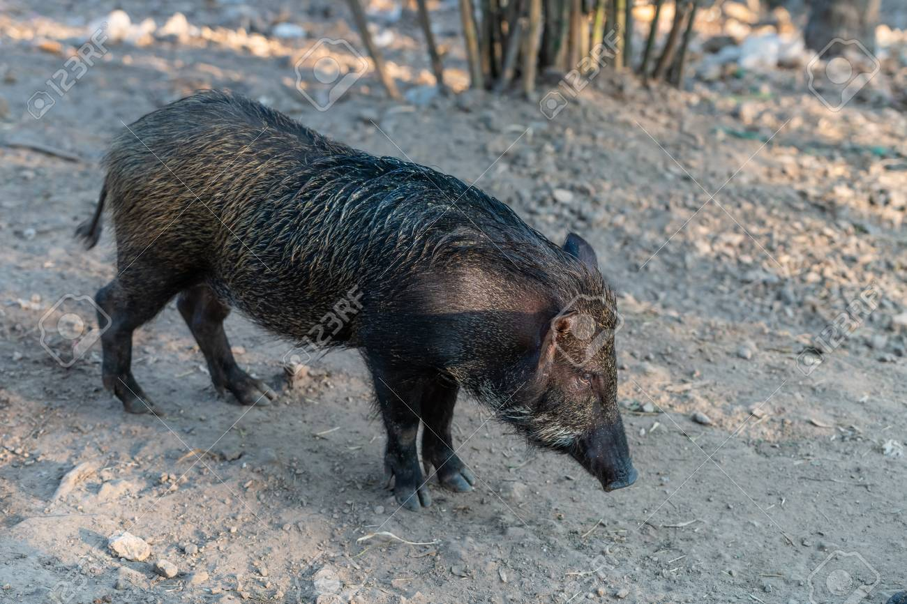 Wild boar (Sus scrofa), also known as wild pig, is a species