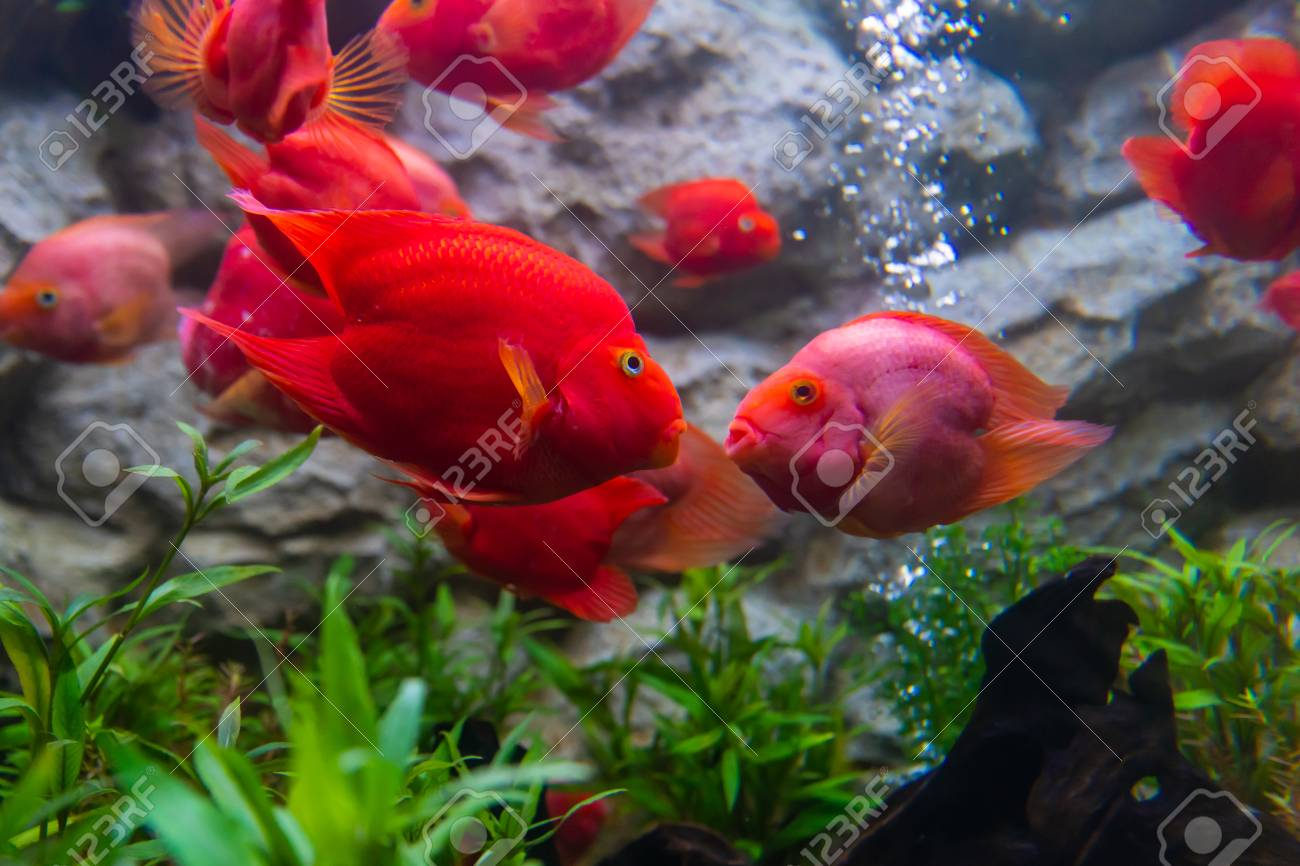 Blood Parrot Cichlid Fish Always Kiss Whenever They See Each.. Stock ...