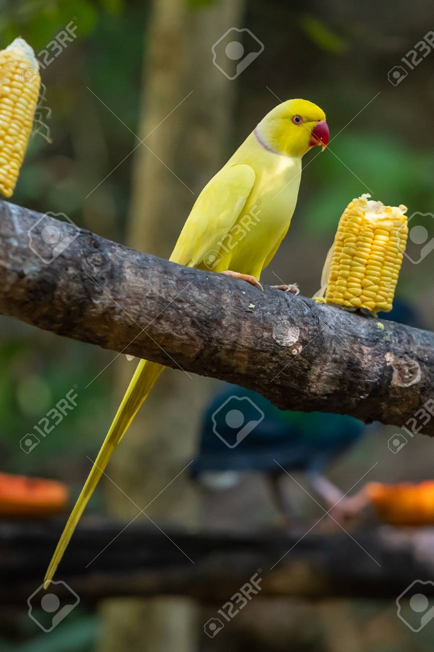 Yellow Indian Ringneck Parrot On A Feeding Perch In A Zoo Stock