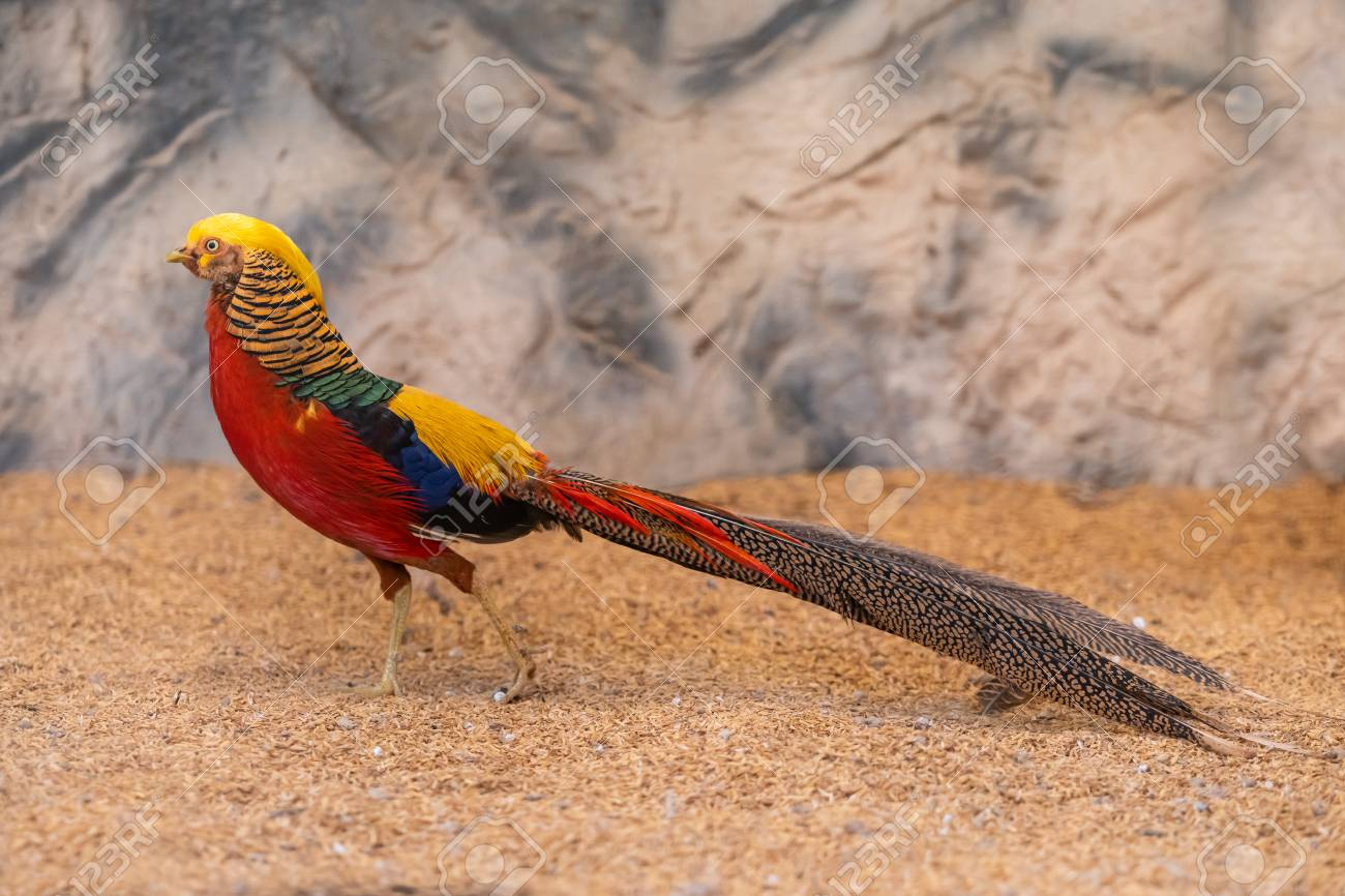 Colorful male Golden pheasant showing off its colorful plumage - 116921660
