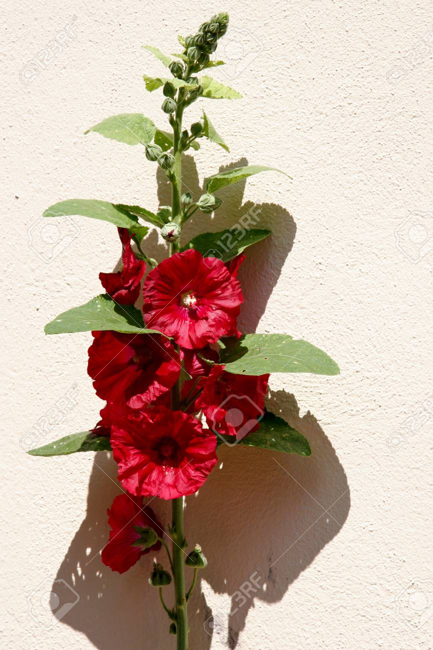 Red Hollyhock (alcea) flowering against a wall in Strasbourg Stock Photo - 8405933