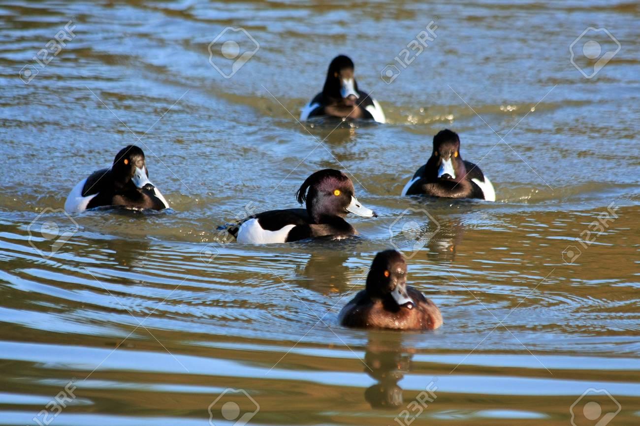 Tufted Ducks (aythya fuligula) on the water at Warnham Nature Reserve near Horsham Stock Photo - 8404867