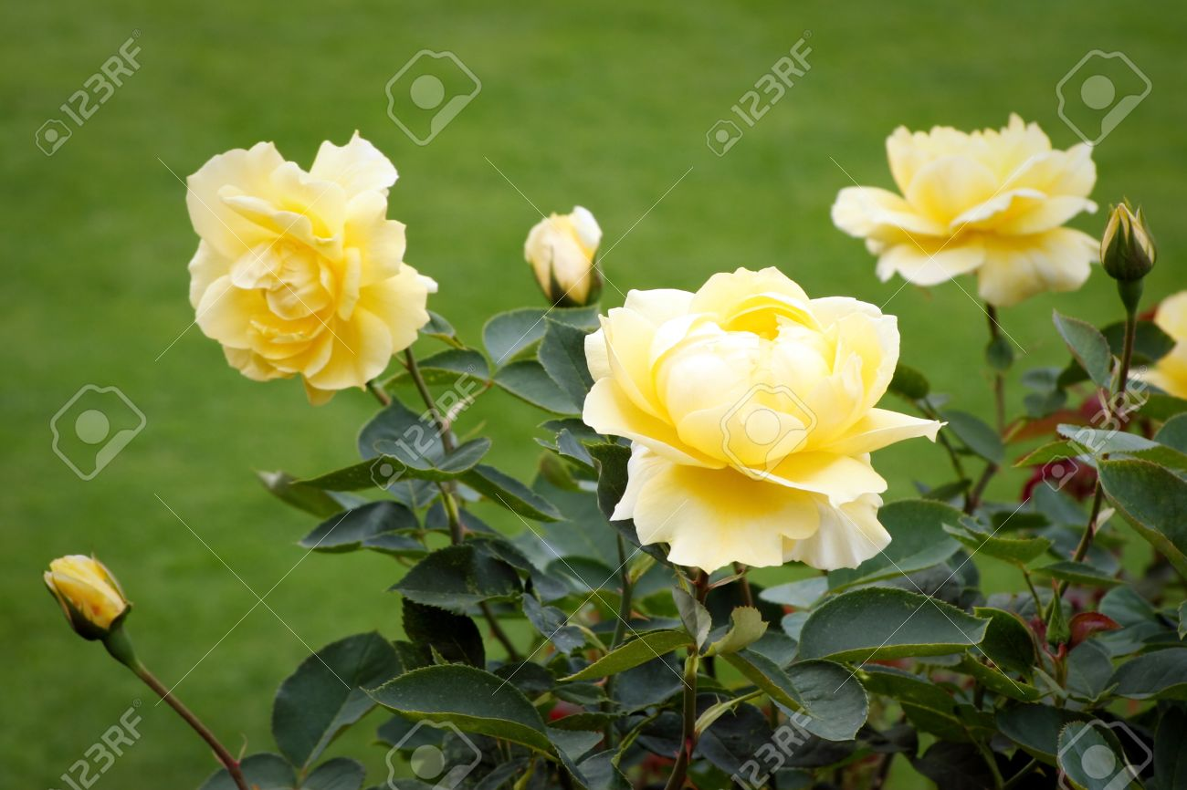 Beautiful yellow rose gardens - Beautiful Yellow Roses Rosa On Display At Butchart Gardens Stock Photo 8418285