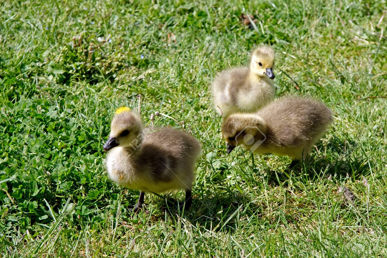 Canada Goose (branta canadensis) goslings on the banks of the river Thames Stock Photo - 8474932
