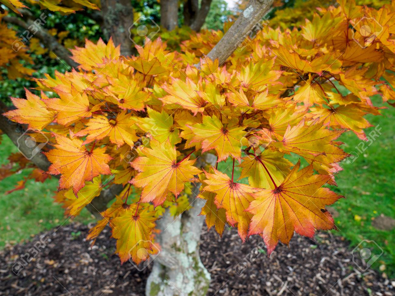 Acer Shirasawanum Cv Aureum In Autumn Colours Stock Photo Picture