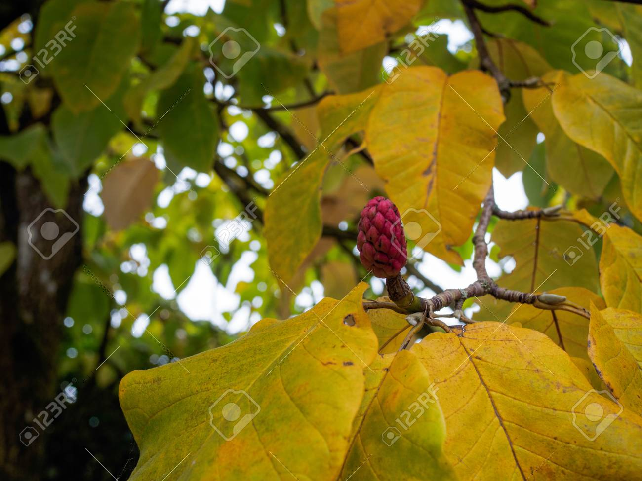 Red Flower Bud On A Magnolia Tree In Autumn Stock Photo Picture And