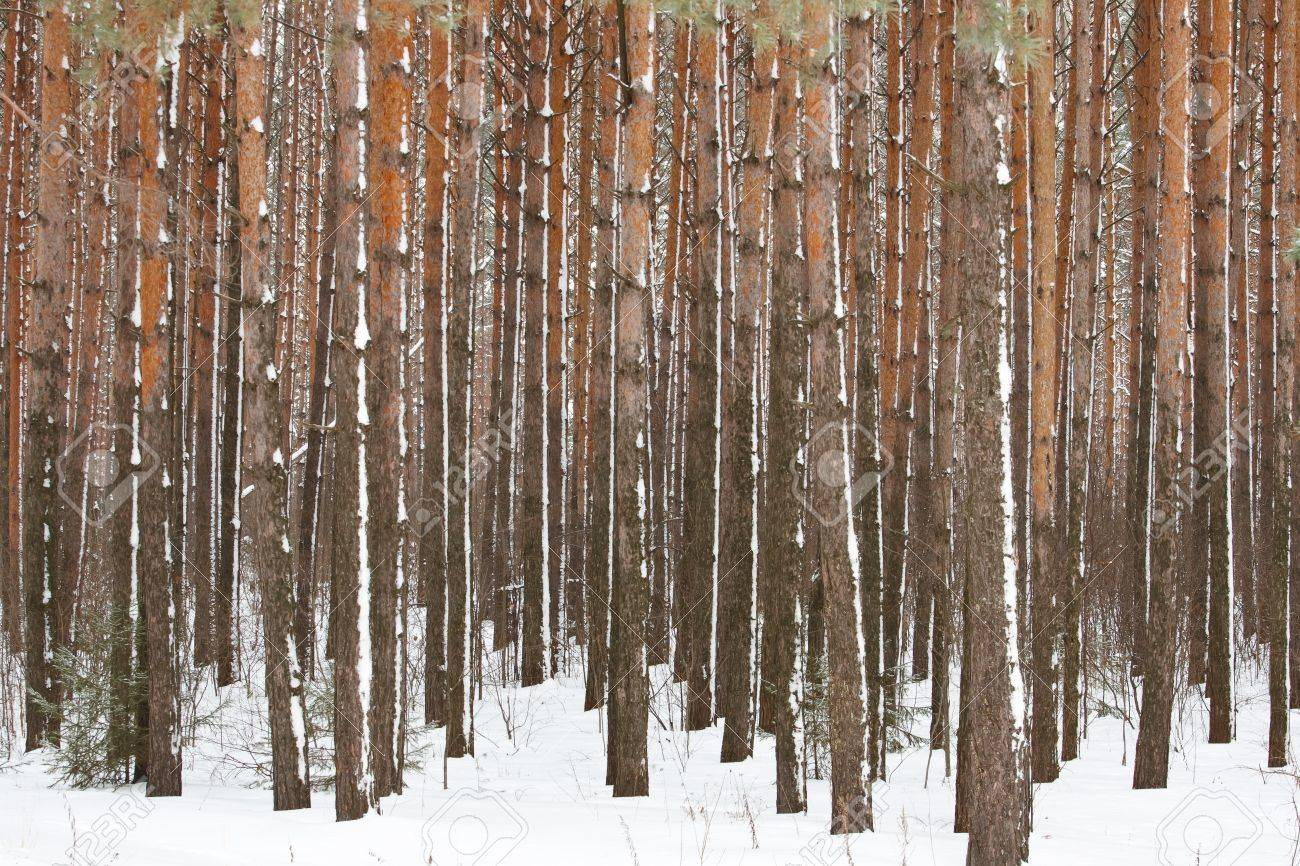 Pine winter forest - high trunks of trees Stock Photo - 11944687