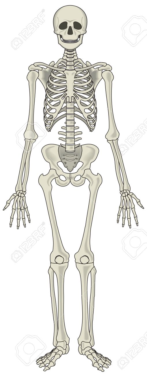 human skeleton vector royalty free cliparts, vectors, and stock, Skeleton