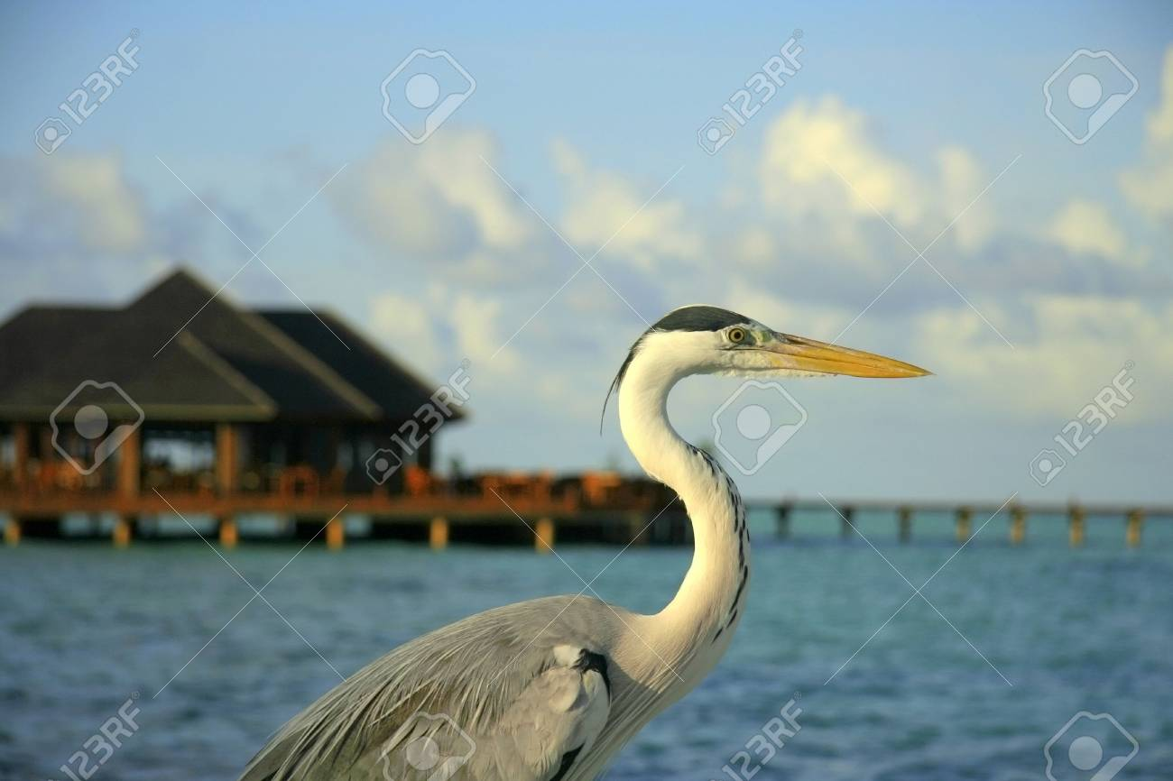 Sea Heron hanging out in the sun Stock Photo - 2771031