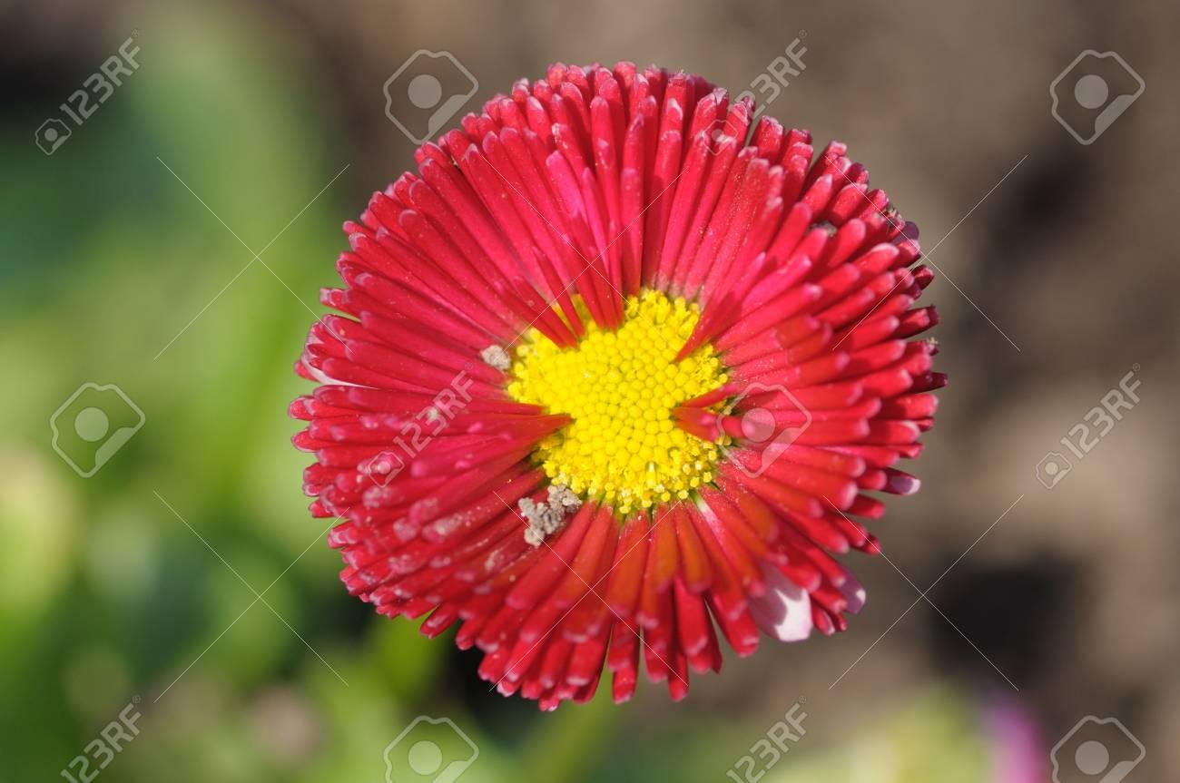 Closeup of a beautiful red gerbera flower Stock Photo - 6641452